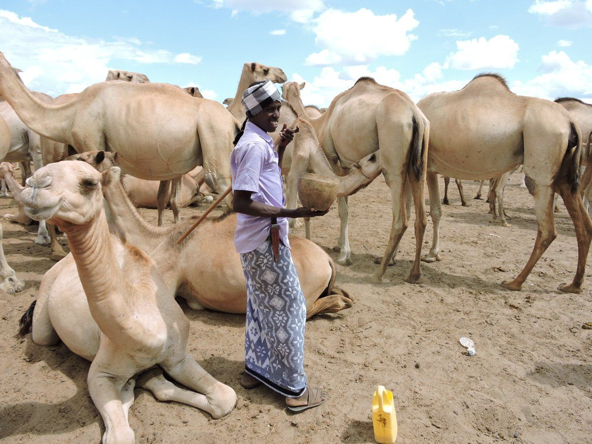 9169e80835 County to construct Kenya's first camel slaughterhouse