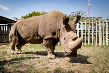 An Italian company hopes to save the northern white rhino through IVF
