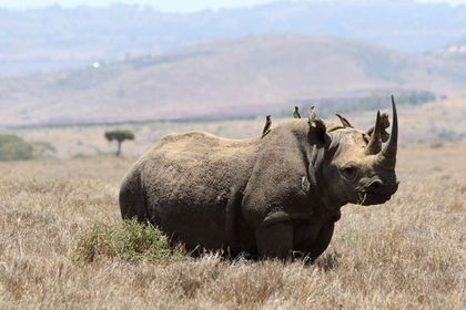 10th rhino dead in Kenya after disastrous transfer